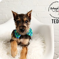 Adopt A Pet :: Teddy-Pending Adoption - Omaha, NE