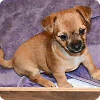 Adopt A Pet :: LIBERTY BELLE - Hurricane, UT