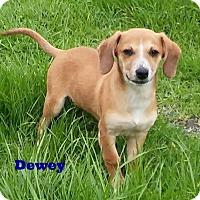 Adopt A Pet :: Dewey - Santa Rosa, CA
