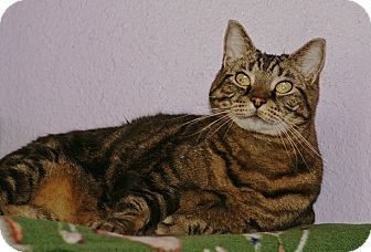 American Shorthair Cat for adoption in Englewood, Florida - Tiger