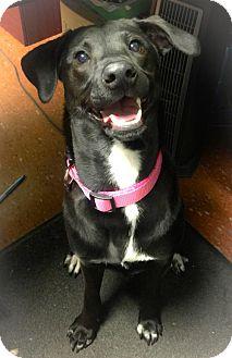 Labrador Retriever Mix Dog for adoption in Olive Branch, Mississippi - Piperton