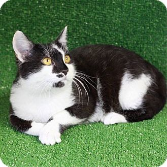 Domestic Shorthair Kitten for adoption in South Haven, Michigan - Axel Rose