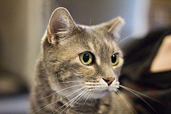 Domestic Shorthair Cat for adoption in Lincoln, Nebraska - Snookie