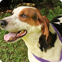 Treeing Walker Coonhound Mix Dog for adoption in Foster, Rhode Island - Jasper