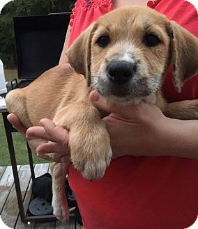 "Labrador Retriever/Pointer Mix Puppy for adoption in Forked River, New Jersey - The ""A"" Litter"