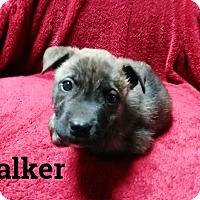 Adopt A Pet :: Walker - Trenton, NJ