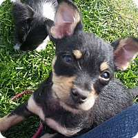 Adopt A Pet :: Tinkerbell-Needs forever famil - Victorville, CA