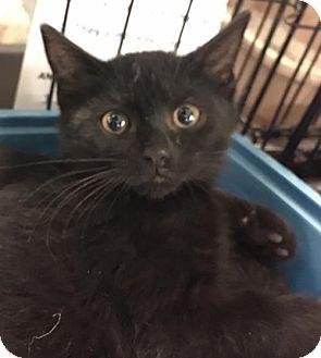 Domestic Shorthair Kitten for adoption in Boynton Beach, Florida - Alexander