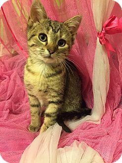 Domestic Shorthair Kitten for adoption in Naperville, Illinois - Hemmingway