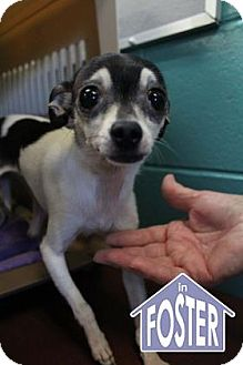 Chihuahua Mix Dog for adoption in Ann Arbor, Michigan - Rosie