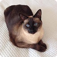 Siamese Cat for adoption in Pinckney, Michigan - Penny