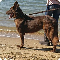 Adopt A Pet :: Shaina - Waldorf, MD