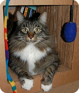Maine Coon Cat for adoption in Davis, California - Suleiman