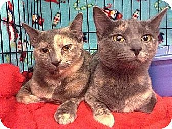 Domestic Shorthair Cat for adoption in Tustin, California - Demi