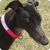 Adopt A Pet :: San Tan Watusi - Longwood, FL
