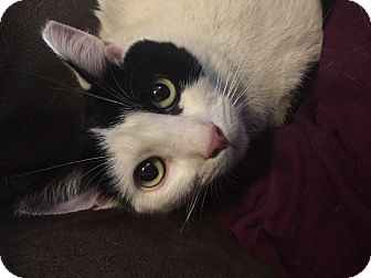 Domestic Shorthair Cat for adoption in New York, New York - Prince