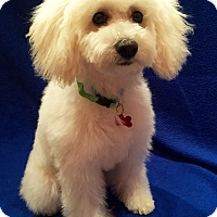 Adopt A Pet :: Phoebe Puppy - Encino, CA