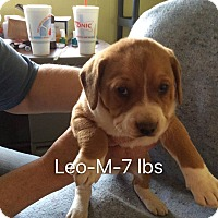 Adopt A Pet :: Leo - Trenton, NJ