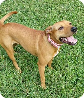Black Mouth Cur Mix Dog for adoption in Houston, Texas - Elsa