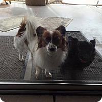 Papillon/Chihuahua Mix Dog for adoption in Phoenix, Arizona - Elvis