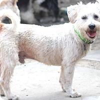 Adopt A Pet :: Percy - Woonsocket, RI