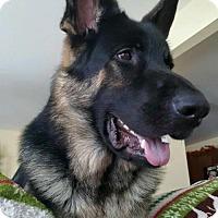 Adopt A Pet :: Max1 - Morrisville, NC