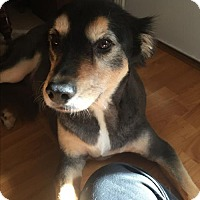 Border Collie/German Shepherd Dog Mix Dog for adoption in Rowayton, Connecticut - Sasha Needs Rehoming