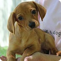 Adopt A Pet :: Butter Creme - Locust Fork, AL