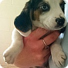 Adopt A Pet :: Beagle pup