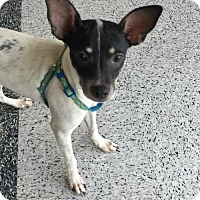 Chihuahua Mix Dog for adoption in Houston, Texas - Pepper
