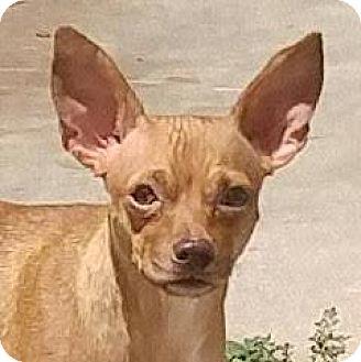 Chihuahua Mix Dog for adoption in Austin, Texas - Cara