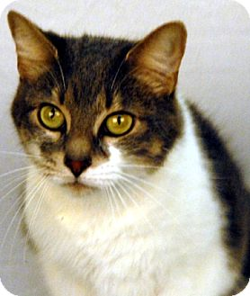 Domestic Shorthair Cat for adoption in Newland, North Carolina - Sarah