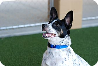 Australian Cattle Dog Mix Dog for adoption in Nashville, Tennessee - Speckles