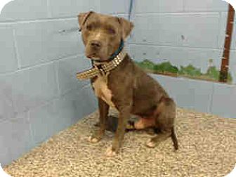 Pit Bull Terrier Dog for adoption in San Bernardino, California - URGENT ON 10/12 San Bernrdino