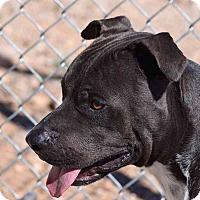 Adopt A Pet :: Rowdy - Sierra Vista, AZ