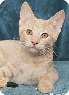 Domestic Shorthair Cat for adoption in St Louis, Missouri - Tasha