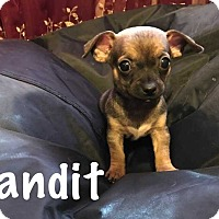 Adopt A Pet :: Bandit - San Angelo, TX