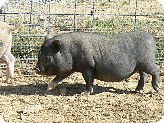 Pig (Potbellied) for adoption in Georgetown, Kentucky - Jasmine