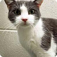 Adopt A Pet :: Greyson - Channahon, IL