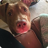 American Staffordshire Terrier Mix Dog for adoption in Garden City, Michigan - Reba
