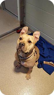 Pit Bull Terrier Dog for adoption in Dedham, Massachusetts - ROCKY