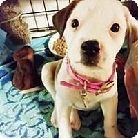 Adopt A Pet :: Pinnie - Grand Prairie, TX