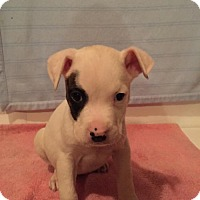 Adopt A Pet :: Dominick (Wendy- Blossvale) - Blossvale, NY