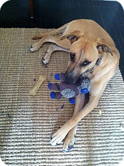 Shepherd (Unknown Type)/Hound (Unknown Type) Mix Dog for adoption in Los Angeles, California - Mary- Gentle Sweetheart!
