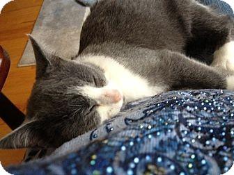 Domestic Shorthair Kitten for adoption in Waxhaw, North Carolina - Savannah