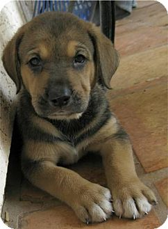 Bloodhound/Border Collie Mix Puppy for adoption in Phoenix, Arizona - Bianca