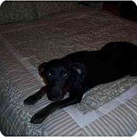 Adopt A Pet :: Stella (Flagstaff) - Scottsdale, AZ