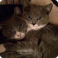 Adopt A Pet :: Lolo - Brooklyn, NY
