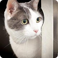 Domestic Shorthair Cat for adoption in New York, New York - Samantha