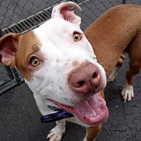 American Pit Bull Terrier Mix Dog for adoption in Manhattan, New York - Polo